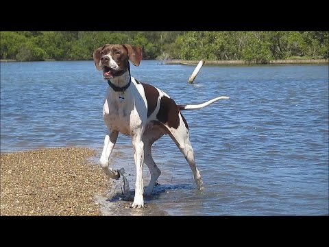 Codee (English Pointer) and Spike (Whippet)