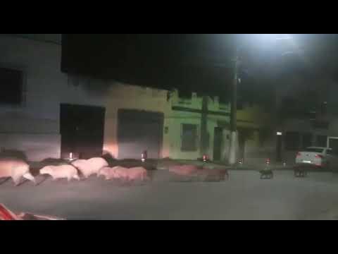 Grupo de capivaras passeia por Itabuna durante pandemia