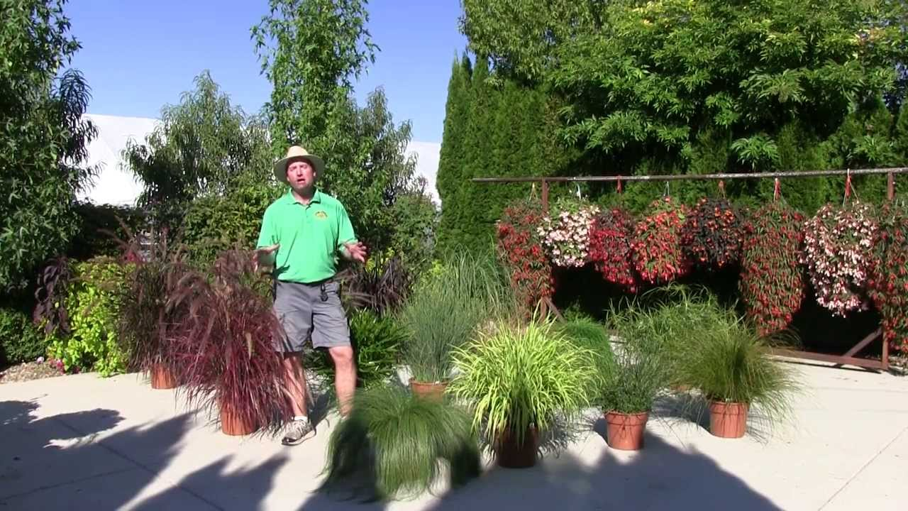 Annual Ornamental Grasses Ornamental annual grasses part 1 youtube workwithnaturefo