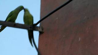 courtship behavior in indian parrot Ring Necked Parakeets