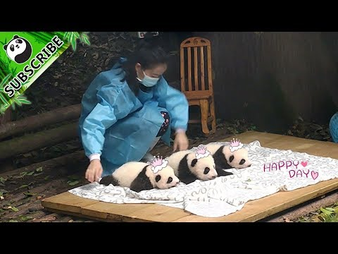 Look! It's Three Little Panda Cubs! | iPanda