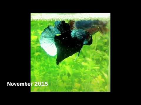 ตอน ปลากัด Black Light by goldenbetta