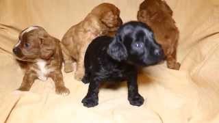 関西ミックス・キャバプー子犬販売 http://puppy-dollz.com/find/mix 滋...