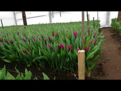 Выгонка тюльпана на 14 февраля и 8 марта. Обзор теплицы. Начало срезки