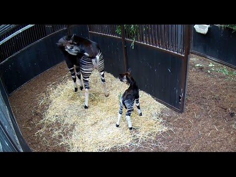 Geboorte & 1e stapjes okapi Diergaarde Blijdorp - Birth and 1st steps okapi Rotterdam Zoo
