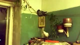 видео Дикие голуби