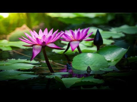 Beautiful Chinese Music - Lotus Blossoms