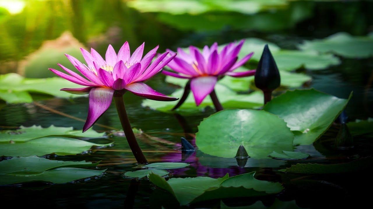 Beautiful Chinese Music Lotus Blossoms Youtube