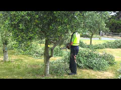 Telegraph Hill Olive tree pruning video 1