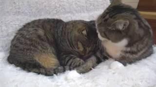 添い寝なねこ2。-Maru&Hana sleep together.-