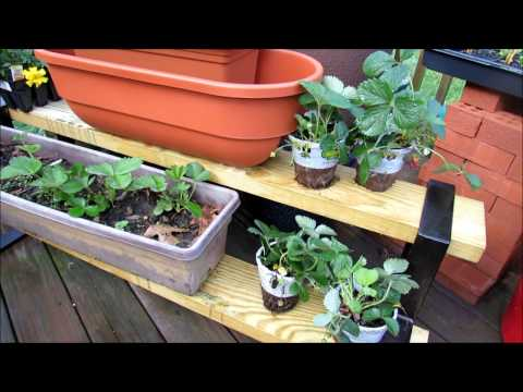 Planting Strawberries in Containers: Transplants, Bare Crowns/Roots,  Fertilizing, Baking Soda Spray