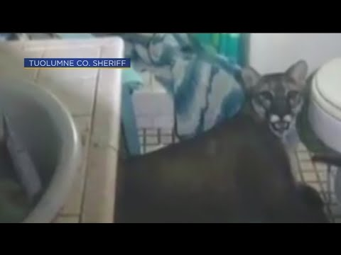 V Mornings - Mountain Lion Gets Trapped In Family's NorCal Bathroom Near Yosemite