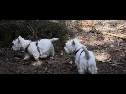 2 Westies im Wald  | Action Westies / West Highland White Terrier