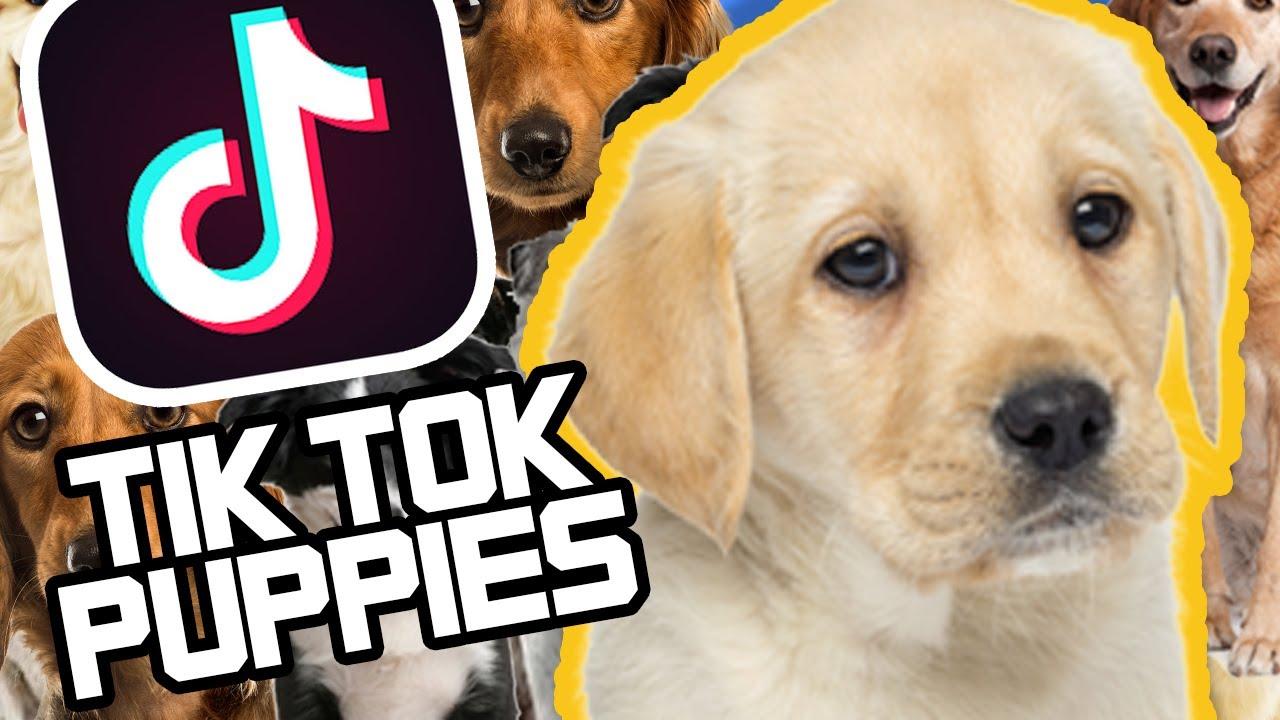 Cute Tik Tok Puppies Compilation Youtube
