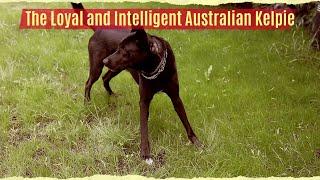 The Loyal and Intelligent Australian Kelpie