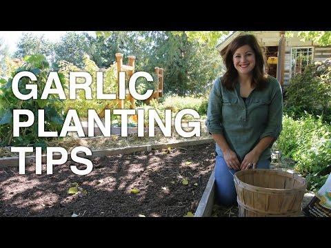 Garlic Planting Tips