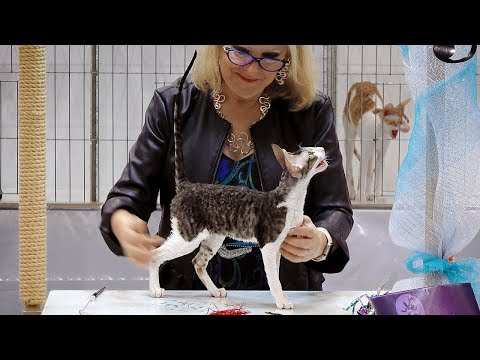 CFA International Show 2018 - Cornish Rex kitten class judging - Set 2