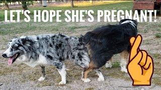 Breeding Our Australian Shepherd *for the second time*