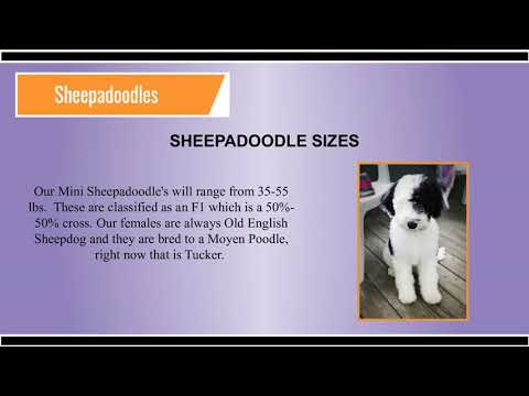 Sheepadoodle Puppies & Dog for Sale | Open Range Pups