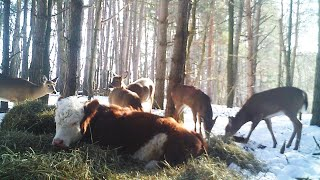 Runaway Cow That Lost Family Makes Home With Deer in New York Woods