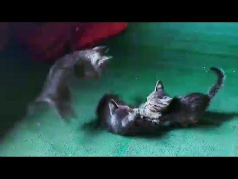 Cats fighting မႅဝ်းဢွၼ်ႇႁႅမ်ၵၼ်
