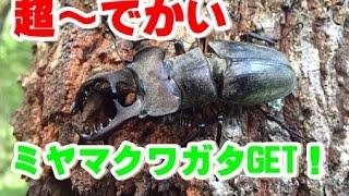2016年7月31日クワガタ採取-超~デカいミヤマクワガタとノコギリクワガタ thumbnail