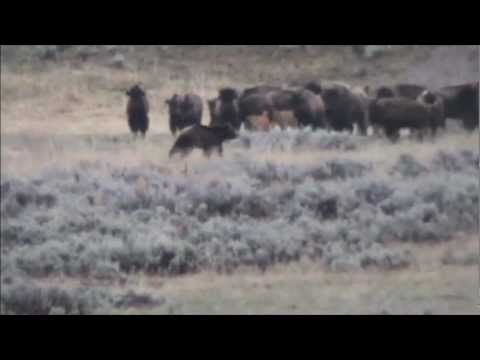 Thumbnail: Yellowstone Grizzly and Bison