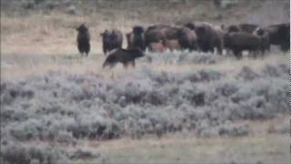 Yellowstone Grizzly and Bison