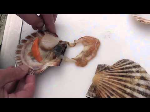 Passionate about fish how to shuck and clean a king for Cleanest fish to eat