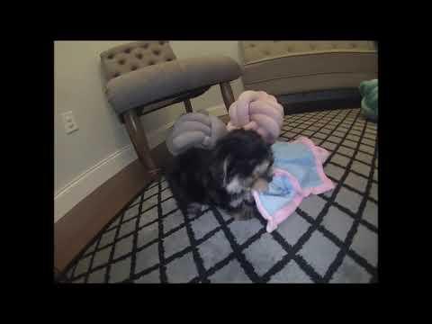 Morkie Puppies for sale in Florida - South Florida - Sarasota - Tampa -  Orlando - Miami