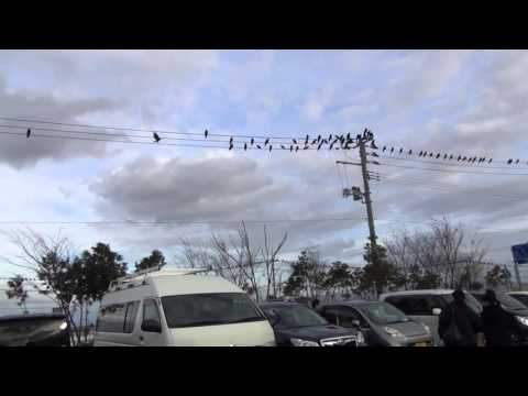 Why do they call it a Murder of Crows?