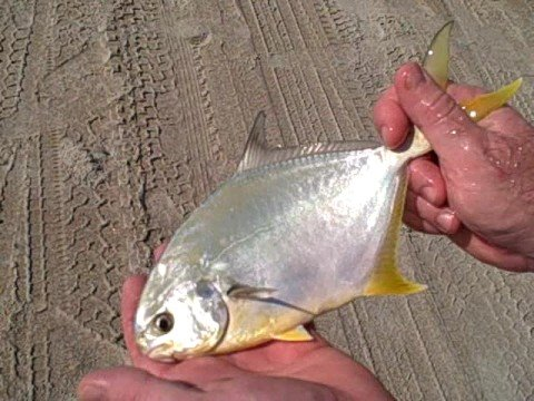 Surf fishing topsail island pompano youtube for Surf city nc fishing report