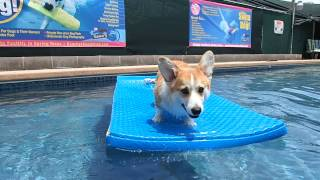 5 Month Old Pembroke Welsh Corgi Puppy Gets Familiar With The Water & Swimming
