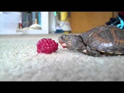 Baby Turtle Eating a Raspberry with Epic Music - YouTube