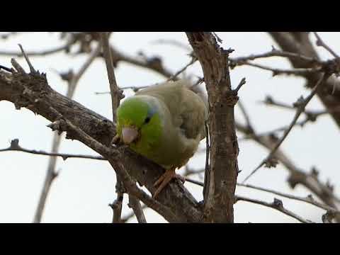 Pacific Parrotlet -