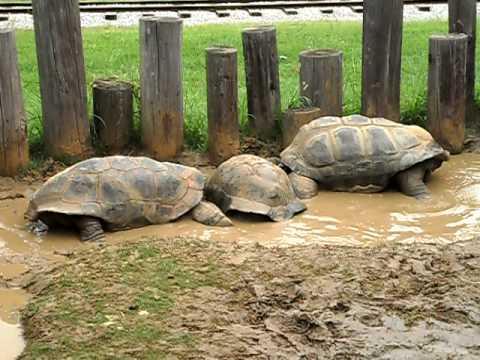 big turtles having fun