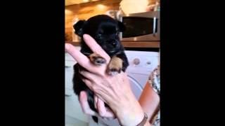Chihuahua Welpen 4 Wochen Alt (13.07.2014)