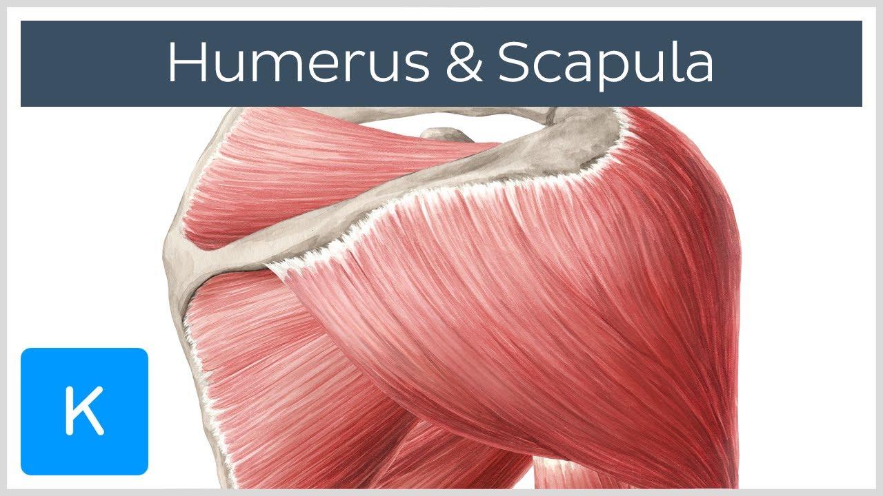 Muskeln des Humerus und der Scapula - Anatomie des Menschen | Kenhub ...