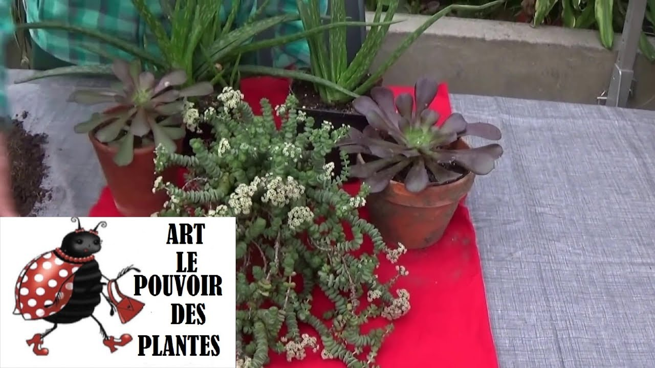 tuto jardinage crassula rupestris comment faire une bouture plantes vertes succulente. Black Bedroom Furniture Sets. Home Design Ideas