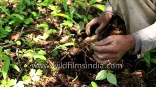 Collecting Sattva - a herb plant and jari-booti in Uttarakhand Himalaya