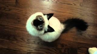 Birman Kitten Wants Attention