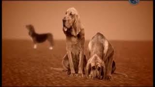 Породи собак. Басет-хаунд