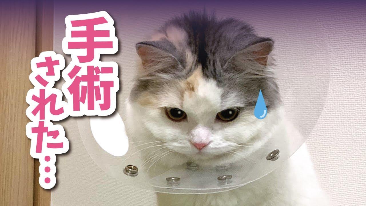 【動物病院】避妊手術をして激ヘコみする猫【おしゃべりする猫】