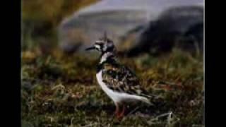 Птицы Планеты-Журавли и Чибисы..avi