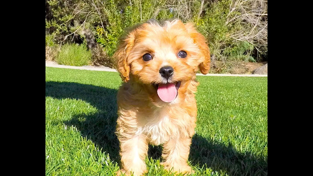 farrah the absolute perfect ruby red cavapoo puppy for