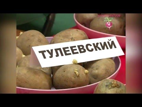 Семенной картофель. Сорта картофеля. Посадка картофеля. Урожайные грядки.