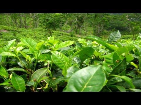 Distinguen hojas de té con redes neuronales
