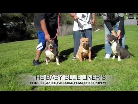 Bluelines smokie, tank jr and 10 upcoming american bully's 2010