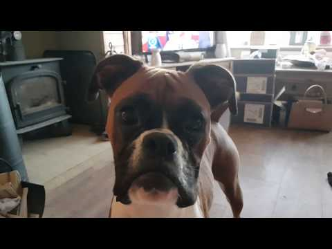 This is Why you OWN a Boxer Dog!!