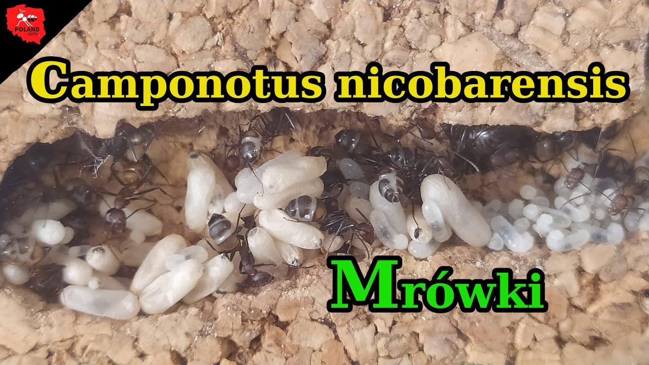 [mrówki] Camponotus nicobarensis - przeludnienie
